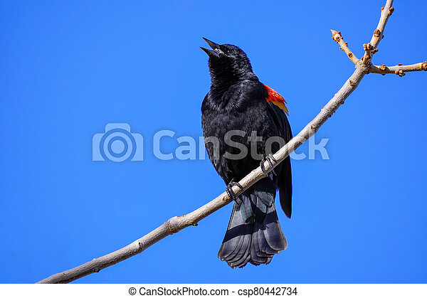 Red-winged blackbird sitting in a tree - csp80442734