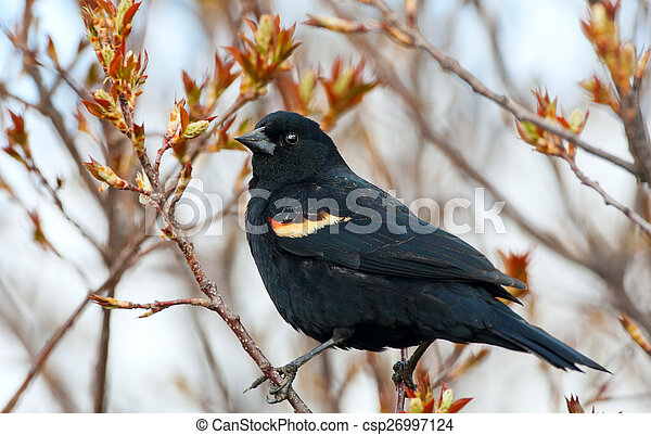 Red-Winged Blackbird - csp26997124