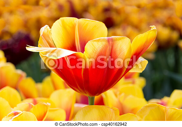 Red with yellow tulip in flowers field red with yellow flower in red with yellow tulip in flowers field csp40162942 mightylinksfo