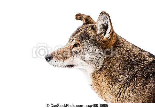Red Wolf in Snow III - csp48818685