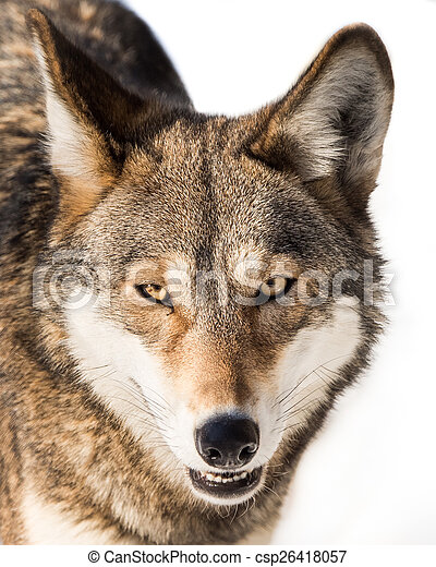 Red Wolf in Snow IV - csp26418057
