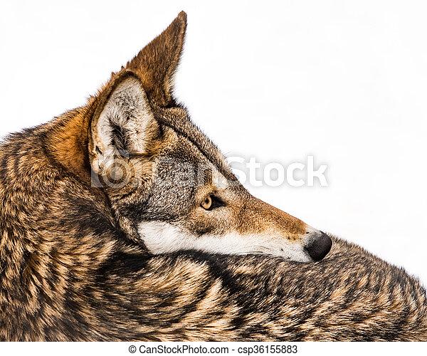 Red Wolf in Snow IX - csp36155883