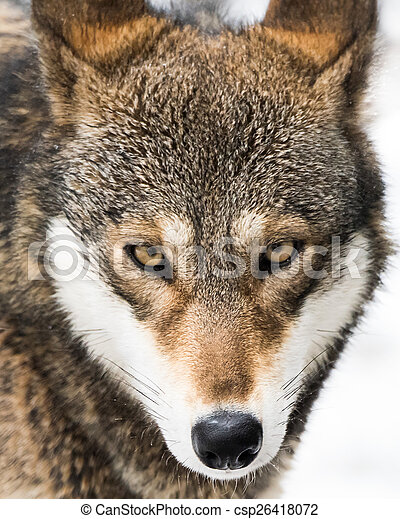 Red Wolf in Snow V - csp26418072
