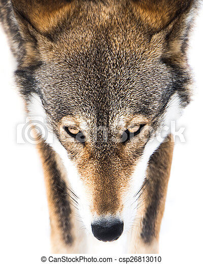 Red Wolf in Snow VI - csp26813010
