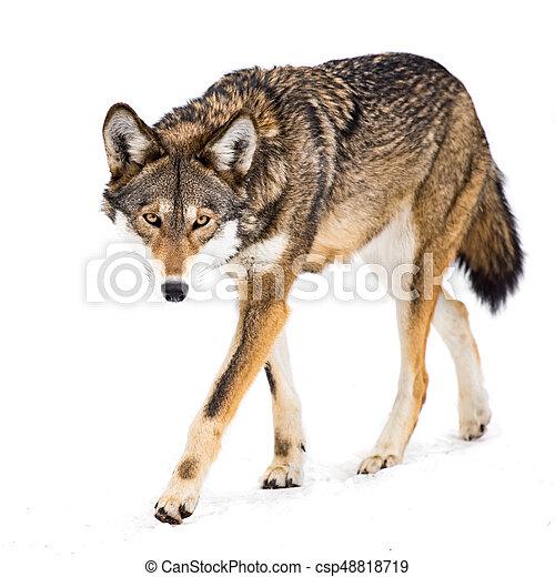 Red Wolf in Snow VIII - csp48818719