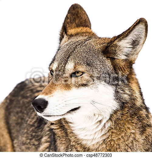 Red Wolf in Snow X - csp48772303