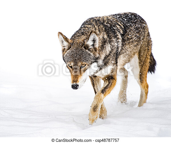 Red Wolf in Snow XII - csp48787757