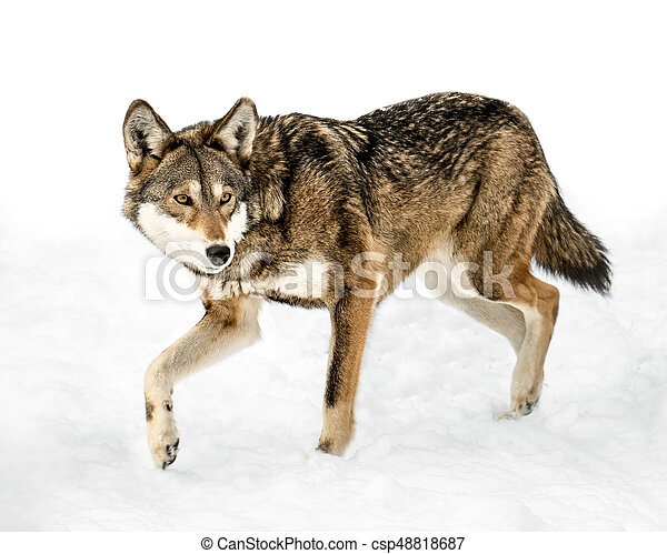 Red Wolf in Snow XIII - csp48818687