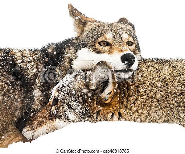 Red Wolf Pair in Snow - csp48818785