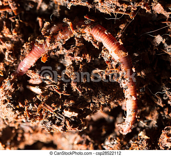 red worms in compost - bait for fishing - csp28522112