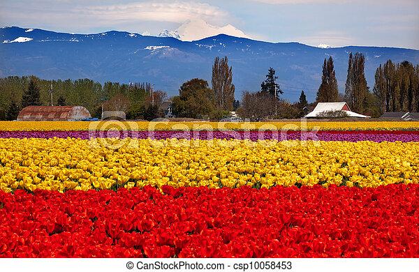Red Yellow Tulips Flowers Mt Baker Skagit Valley Farm Washington State Pacific Northwest - csp10058453