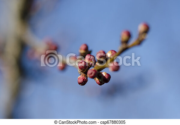 Red young buds of apricot in Spring Garden on a sunny day - csp67880305