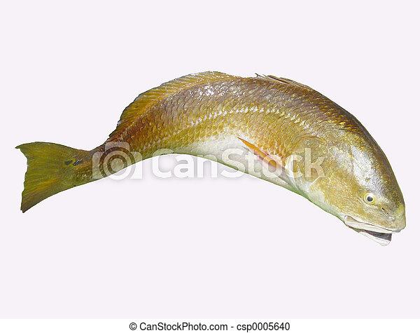 Redfish (red drum) - csp0005640