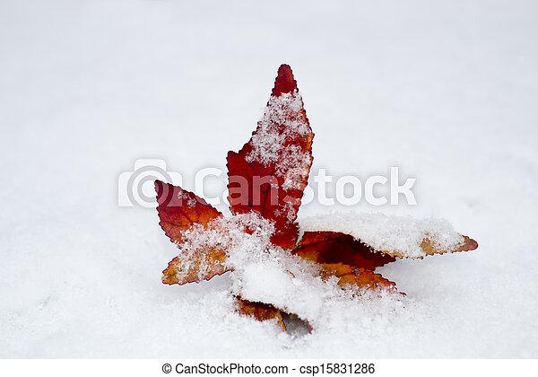 Redleaf in the snow - csp15831286