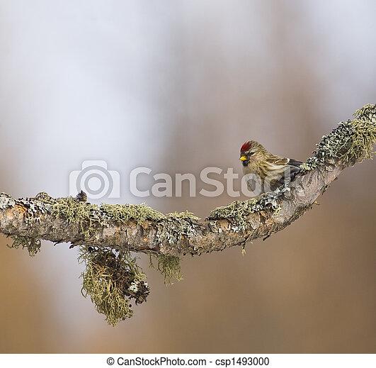 Redpoll on Mossy Branch - csp1493000