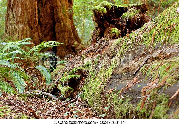 redwood, coberturas, califórnia, floresta, musgo, caído - csp47788114