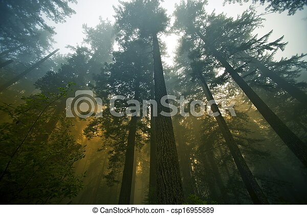 Redwood Forest - csp16955889