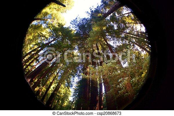 Redwoods - csp20868673
