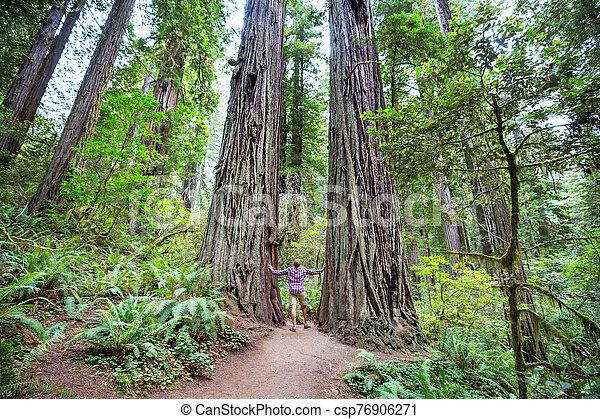 Redwoods - csp76906271