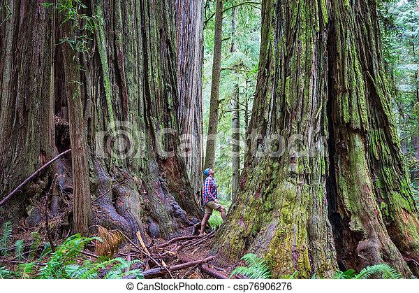 Redwoods - csp76906276
