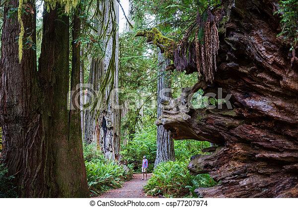 Redwoods - csp77207974