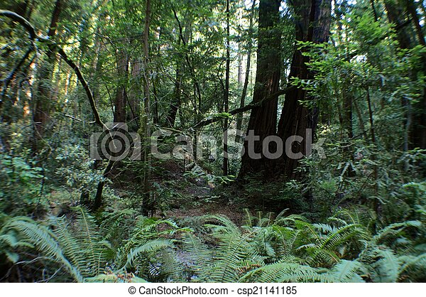 redwoods - csp21141185