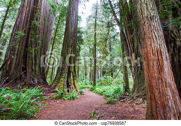Redwoods - csp76938587