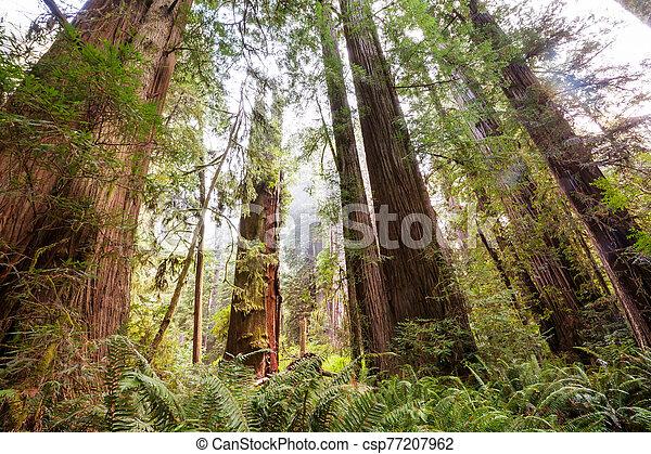 Redwoods - csp77207962