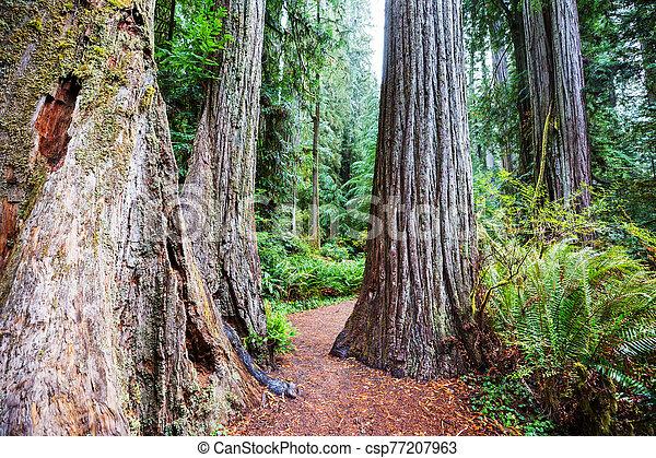 Redwoods - csp77207963