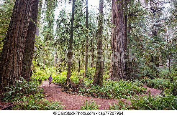 Redwoods - csp77207964