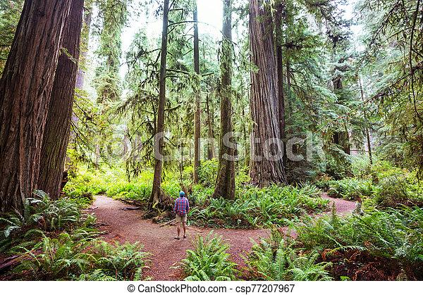 Redwoods - csp77207967