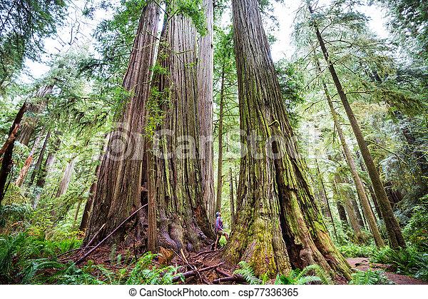 Redwoods - csp77336365