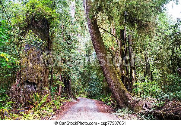 Redwoods - csp77307051