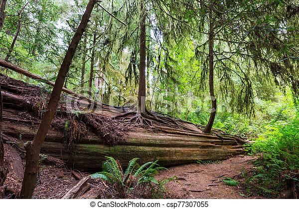 Redwoods - csp77307055