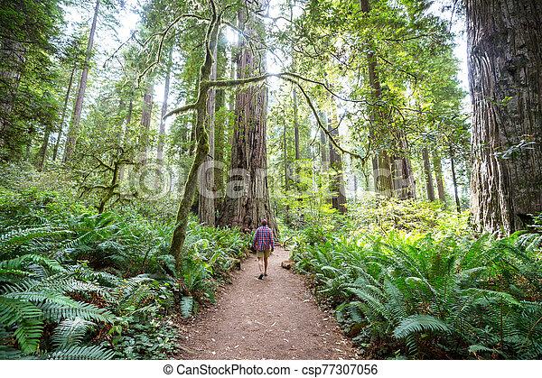 Redwoods - csp77307056