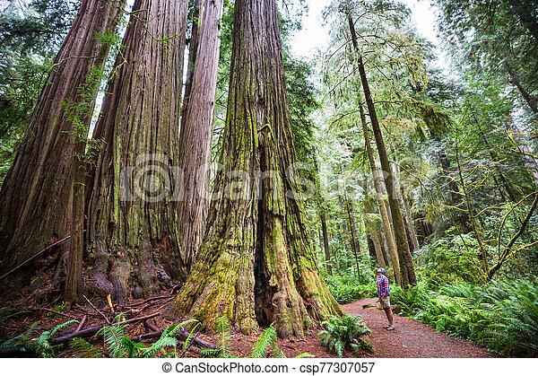 Redwoods - csp77307057