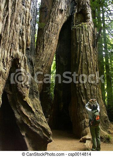 Redwoods - csp0014814