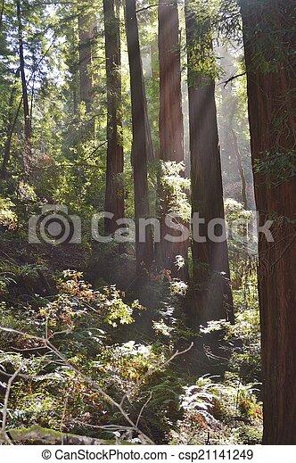 Redwoods - csp21141249
