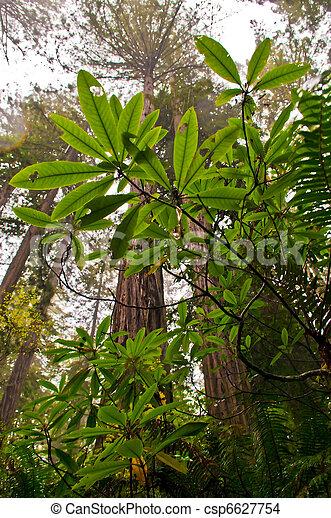 Redwoods - csp6627754