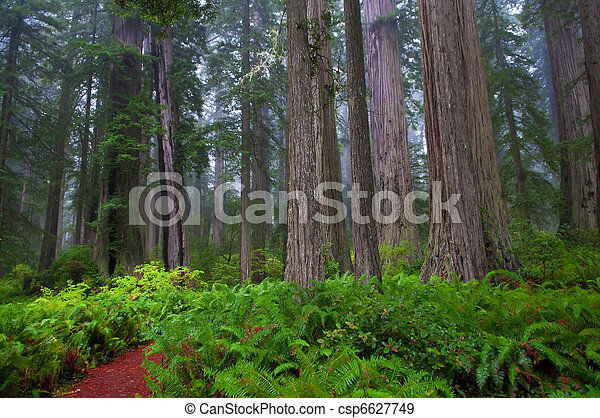 Redwoods - csp6627749