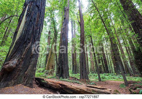 Redwoods - csp77271897