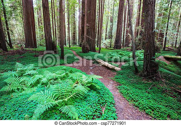 Redwoods - csp77271901