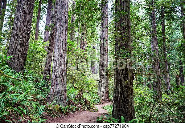 Redwoods - csp77271904