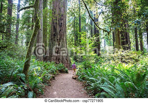 Redwoods - csp77271905
