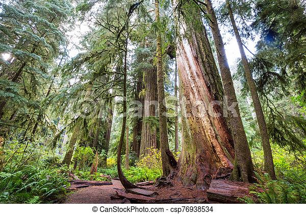 Redwoods - csp76938534