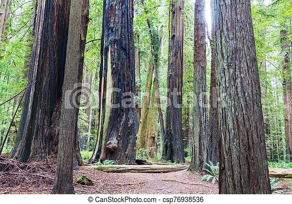 Redwoods - csp76938536