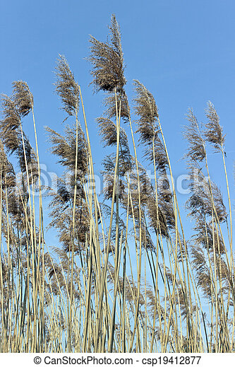 Reed on wind over blue sky - csp19412877