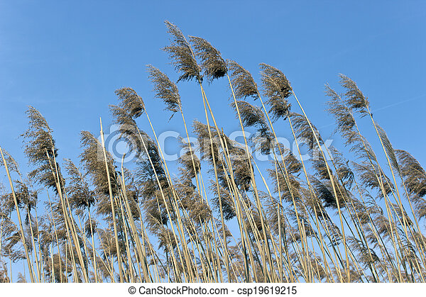 Reed on wind over blue sky - csp19619215