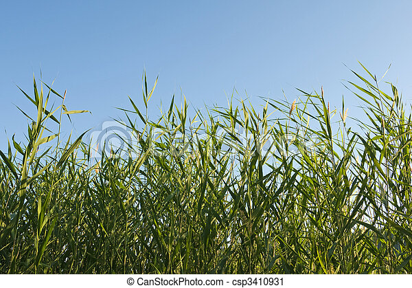 reed stems on blue sky - csp3410931