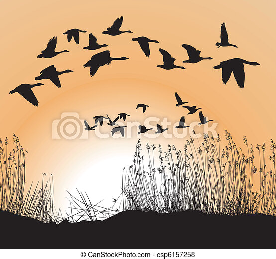 Reeds and Geese - csp6157258
